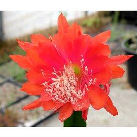 Epiphyllum-Hybr. Dante