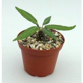 Dorstenia lanceolata