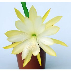 Epiphyllum-Hybr. Berzona