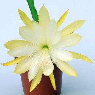 Epiphyllum-Hybr. `Berzona`
