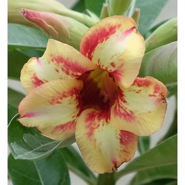 Adenium obesum cv. Pachirisu CB 27  gepfr.