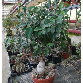 Ficus ´Panda´