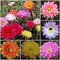 Angebot des Monats Echinopsis Hybriden
