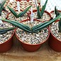 Aloe suprafoliata   Swaziland
