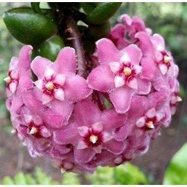 Hoya carnosa  compacta -Krinkle Kurl- II cv. Dark Pink Flower