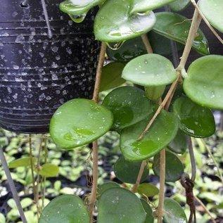 Hoya cv. Mathilde  cv. Spotted leaves