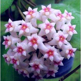 Hoya dolichosparte   cv. Pink Flower
