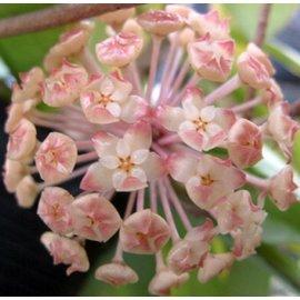 Hoya finlaysonii  cv. Lalia