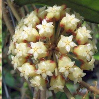 Hoya finlaysonii cv. Olfe