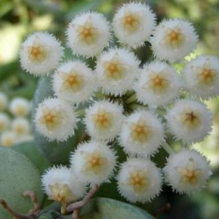 Hoya lacunosa cv. Heart Shape