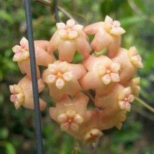 Hoya neo-ebudica