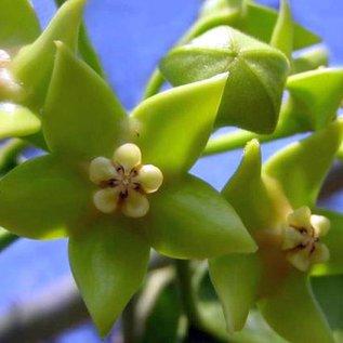 Hoya obtusifolioides
