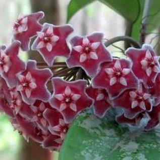 Hoya pubicalyx  cv. Splash Leaves