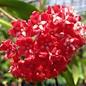Hoya siariae  cv. Red Form