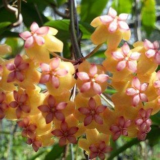 Hoya soligamiana