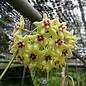 Hoya buotii cv. Sunriser
