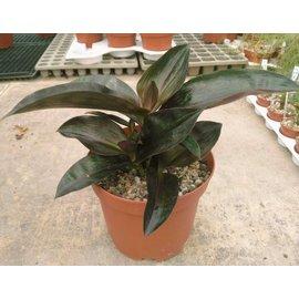 Dichorisandra thrysiflora
