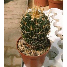 Stenocactus crispatus  `lamellosus`