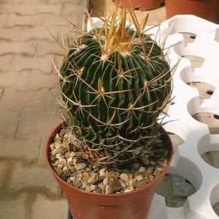 Stenocactus crispatus  f. lamellosus