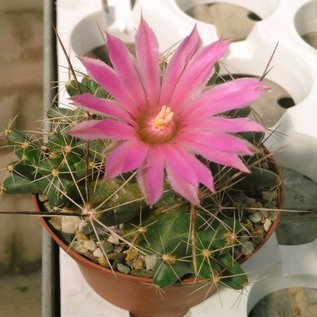 Coryphantha macromeris v. runyonii  (syn. Lepidocoryphantha runyonii)