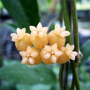 Hoya spec. Sabah