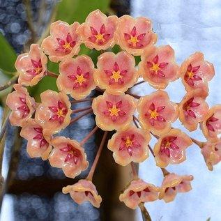 Hoya siariae  cv. Light Pink
