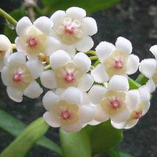 Hoya rotundiflora