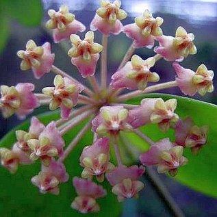 Hoya myrmecopa
