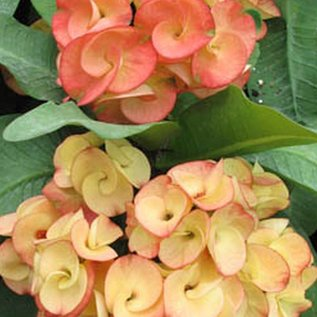 Euphorbia Grandiflora-Thai-Hybr.  ´Sunkist´  Züchtung. mit sehr großen Blüten