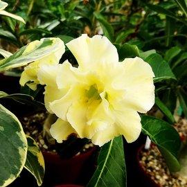 Adenium obesum cv. Hielo de limón inflado.