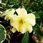 Adenium obesum Lemon Ice  CA 01  gepfr.