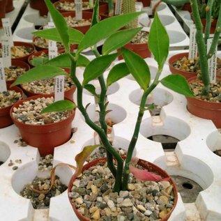 Pedilanthus tithymaloides   Baja California, Mexico, Slipperplant
