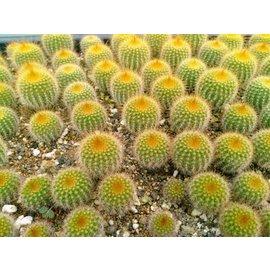Notocactus leninghausii        (Graines)