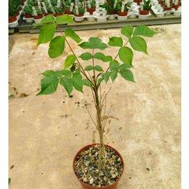 Commiphora unilobata