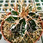 Astrophytum ornatum cv. Fukuryu Hania