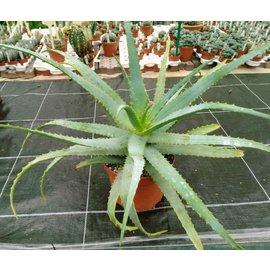 Aloe arborescens -30 %