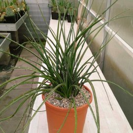 Hesperaloe parviflora       (dw)