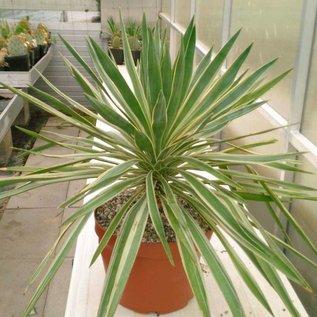 Yucca gloriosa  variegata     (dw)