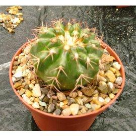 Discocactus pachythele aff. MH 856     CITES
