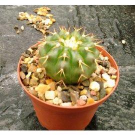 Discocactus heptacanthus ssp. semicampaniflorus MH 855    CITES
