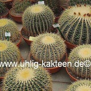 Echinocactus grusonii XXXL