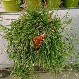 Rhipsalis teres (syn. virgata)