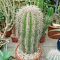 Carnegiea gigantea  `Saguaro` Solitär