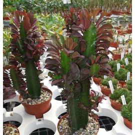 Euphorbia trigona  f. rubra