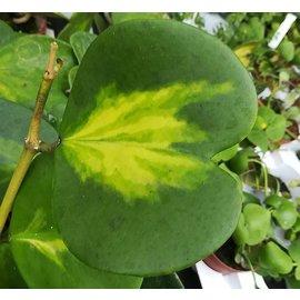Hoya kerrii cv. variegata mediopicta aurea