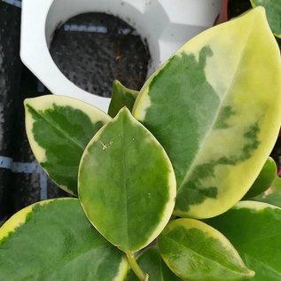 Hoya australis cv. Margin Variegata