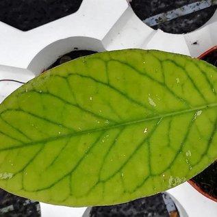 Hoya meredithii