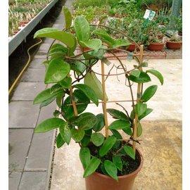 Hoya carnosa  XL