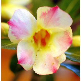 Adenium obesum Annant Yellow`    gepfr.