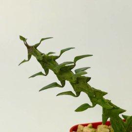 Ceropegia simoneae  green form Madagaskar